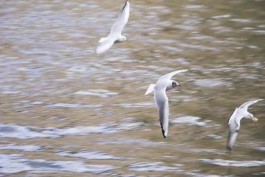Fly of gulls by Patrick Kessler