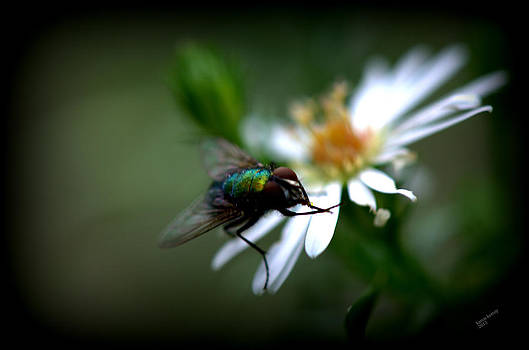 Fly on a Flower by Karen Kersey