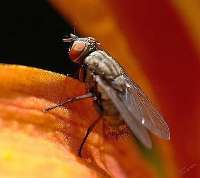 fly on Lily by Karen Kersey
