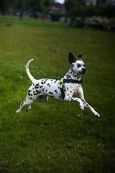 Jenny Rainbow - Flying Crazy Dog. Kokkie. Dalmation Dog