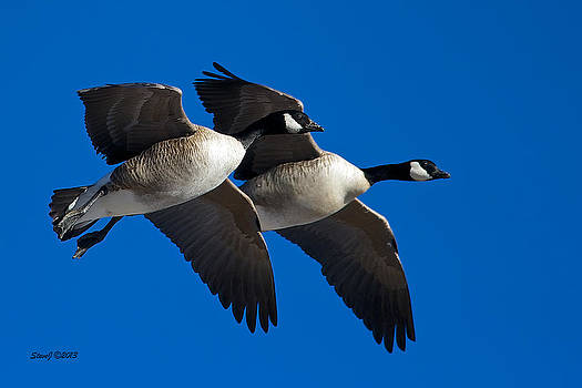 Flying Geese by Stephen  Johnson