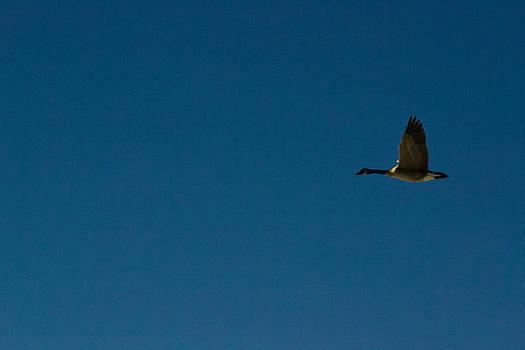 Flying Goose by Matt Radcliffe