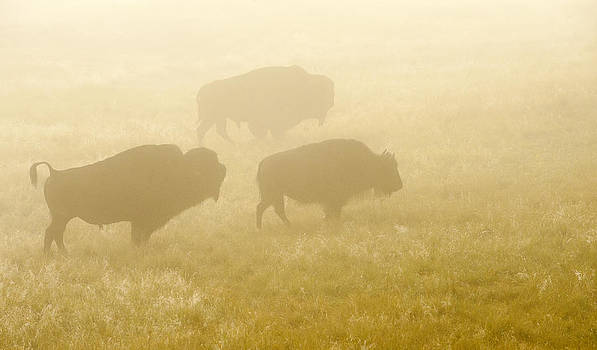 Foggy Morning Bison Rut by Amy Gerber