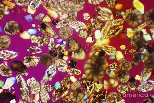 Charles Gellis - Foraminifera Lm