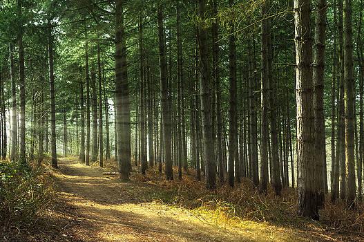 Svetlana Sewell - Forest Sun Rays