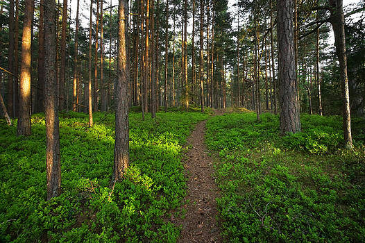 Forest with bilberry bushes by Anna Grigorjeva