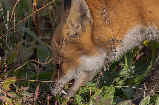 Fox eating a pray mantis by Amy Maloney