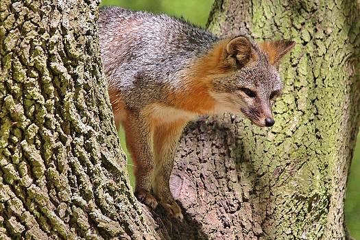 Paulette Thomas - Fox in a Tree