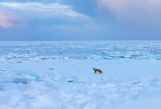Fox of the North Country IV by Mary Amerman