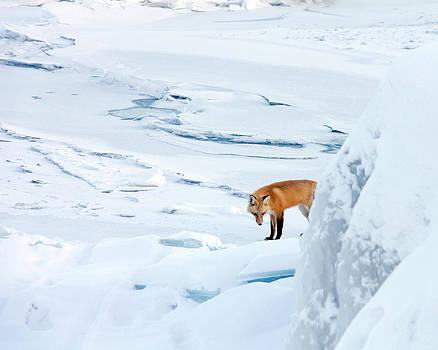 Fox of the North V by Mary Amerman