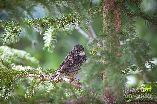 Fox Sparrow Juvenile by Chris Heitstuman