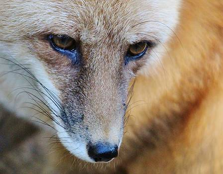 Paulette Thomas - Fox Up Close