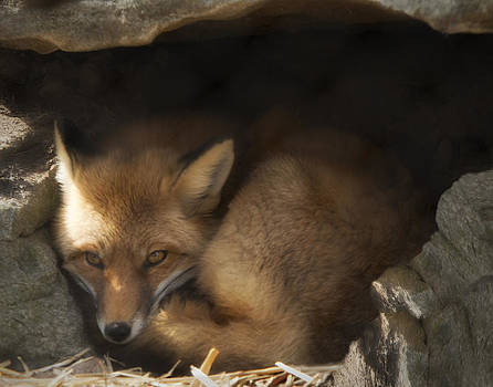 Foxy Lady by Katie Abrams