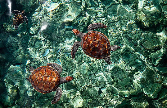 Jenny Rainbow - Fragile Underwater World. Sea Turtles in a Crystal Water. Maldives