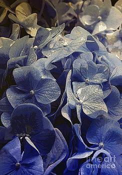 French Hydrangea by Carolyn Marchetti