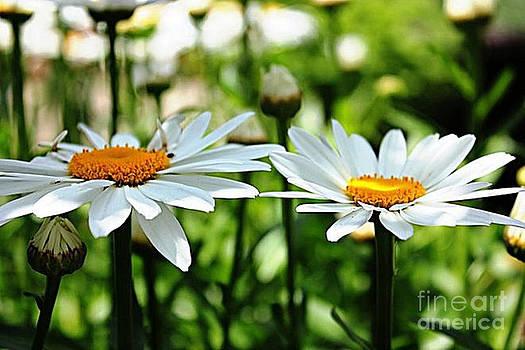 Fresh As A Daisy by Judy Palkimas