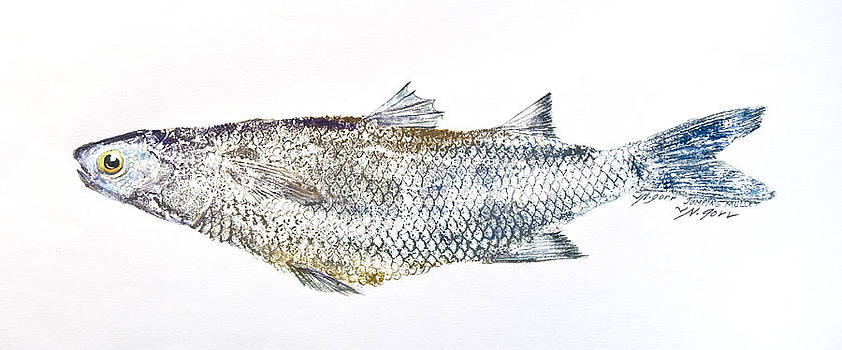 Freshwater Jumping Mullet by Nancy Gorr