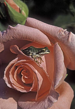 Frog on Rose by Judi Baker