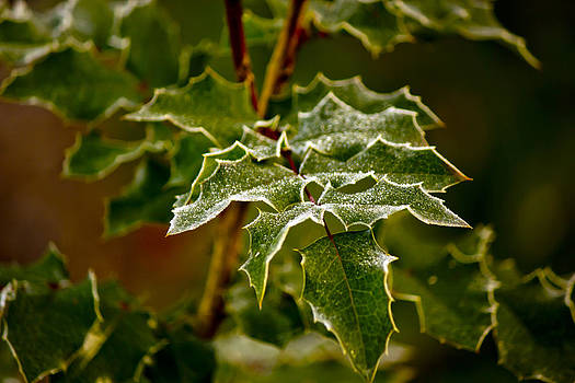 Frosted Holly by Elizabeth Stein
