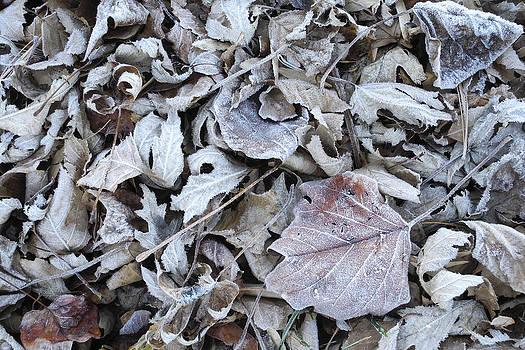 Frosty Leaves by Daniel Kasztelan