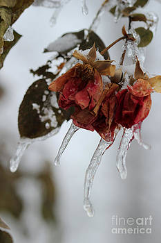Corey Ford - Frozen Roses
