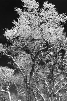 Frozen Trees by Jeff Swanson