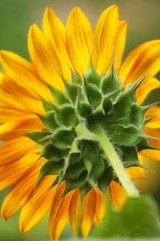 Full Bloom  by Joan Bertucci