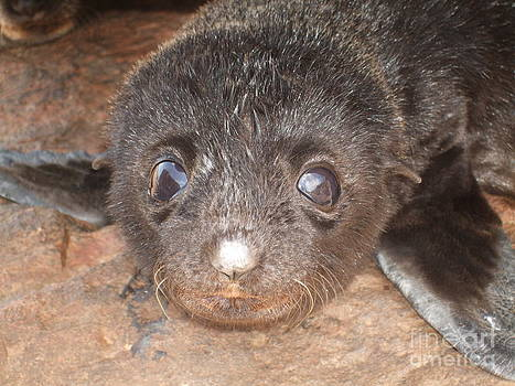 Fur seal pup by Crystal Beckmann