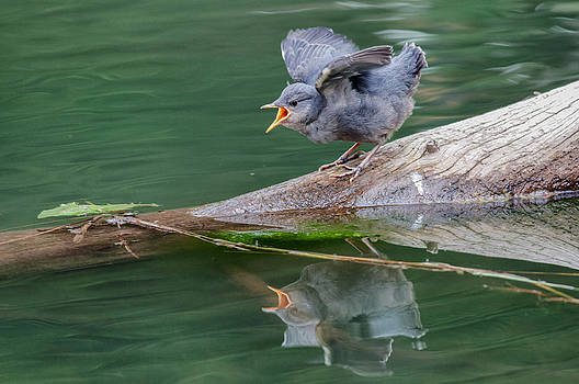 Furious Fledgling by Christopher L Nelson