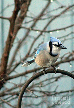 Fussy the Blue Jay - King of the Feeder by Dan De Ment
