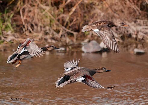 Gadwall Ducks on the South Platte by Stephen  Johnson