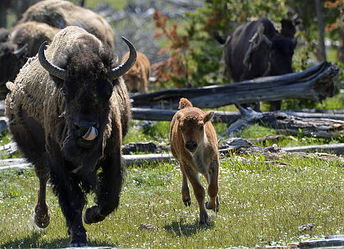 Gallopin Bison Mom and Calf by Bruce Gourley