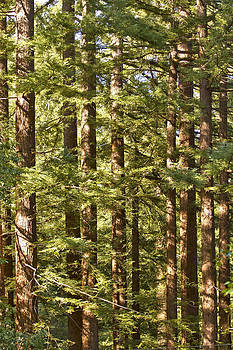 Garcia's Redwoods by Larry Darnell