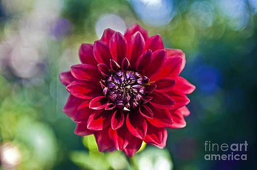David Zanzinger - Garden Flower Red