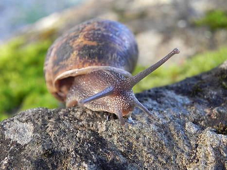 Garden Snail  by Cheryl Hoyle