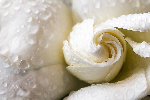 Gardenia Close Up by Courtney DeGregorio
