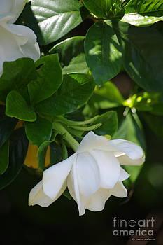 Tannis  Baldwin - Gardenia