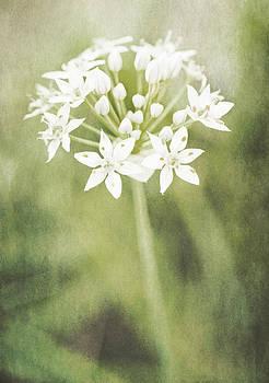 Garlic chives by Lars Hallstrom