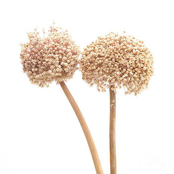 BERNARD JAUBERT - Garlic flower