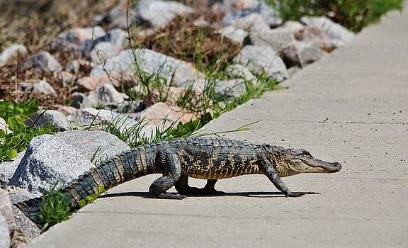Paulette Thomas - Gator Crossing The Road