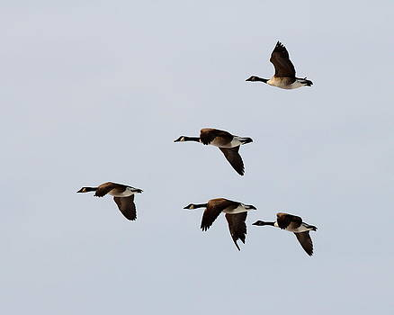 Geese flight by Henry Gray