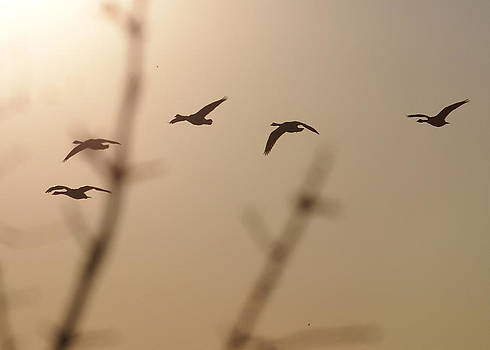 Geese by Henry Gray