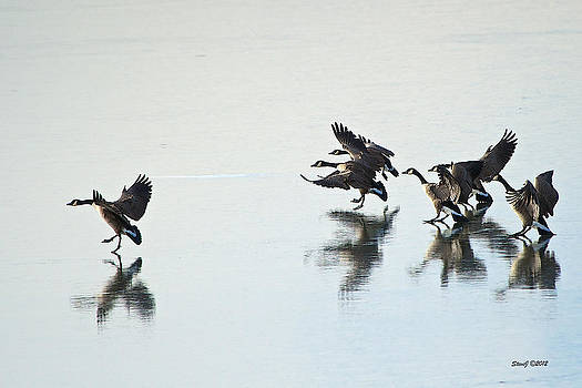 Geese Hitting the Ice by Stephen  Johnson