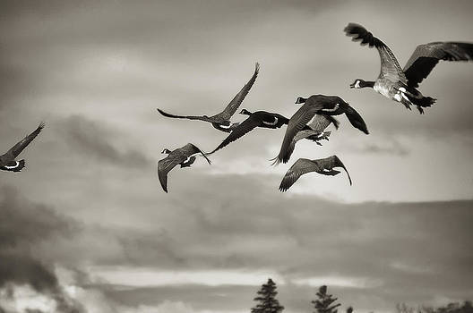 Geese in Flight 2013 by Joseph Duba
