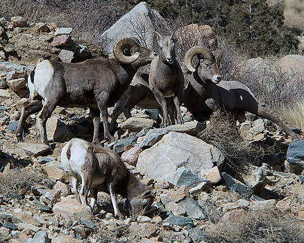 Georgetown Bighorn Sheep by Stephen  Johnson