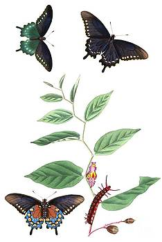 REPRODUCTION - Georgia - Pipevine Swallowtail