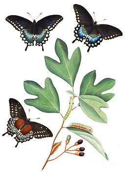 REPRODUCTION - Georgia -  Spicebush swallowtail