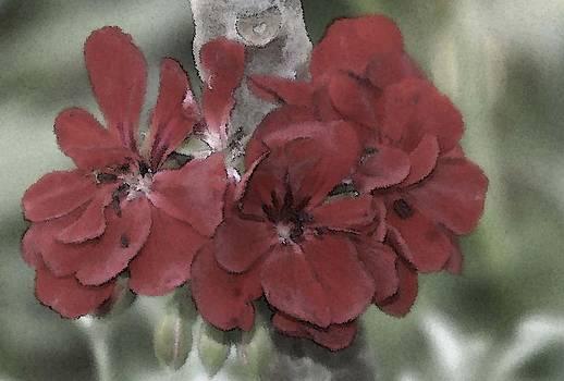 Geraniums by Jennifer Lawrence