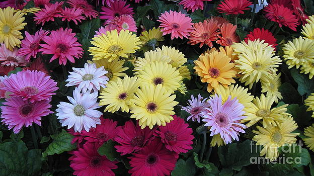 Gerber Daisies by Donna Cavender