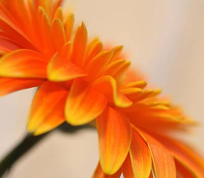 Gerber Daisy by Joan Powell